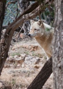 A wolf at the Wild Spirit Wolf Sanctuary in New Mexico