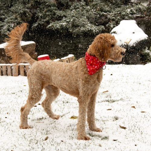 A dog playing in the snow